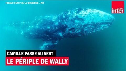 Le Periple De Wally Baleineau Du Pacifique Nord Perdu En Mediterranee Camille Passe Au Vert 7Gkpkb7Tkmy Image