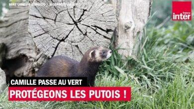 Protegeons Le Putois Camille Passe Au Vert Kawqgalwvy8 Image
