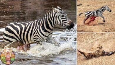 Combats Les Plus Extremes Entre Les Animaux Et Leurs Predateurs Sauvages Rlmei2Atx7C Image