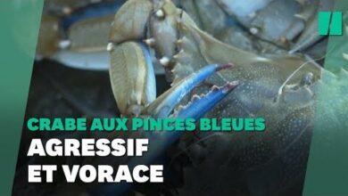 Le Crabe Aux Pinces Bleues Menace La Biodiversite En Occitanie N3Ppsulqvl4 Image