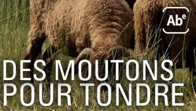 Moutons Tondeuses Ecolos Abe Rts 2Ghiwgbcv6Q Image