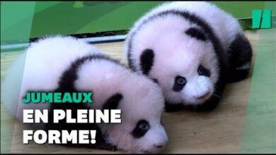 Chine Deux Bebes Pandas Presentes Au Public Du Zoo De Chongqing Xktu Mvvql0 Image
