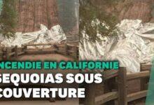 En Californie Des Sequoias Geants Recouverts Daluminium Pour Les Proteger Des Incendies Rxv4Axomxj0 Image