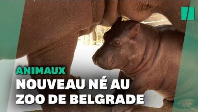 Naissance Inattendue Dun Bebe Hippopotame Au Zoo De Belgrade Py5Kd0Wxjqy Image