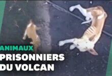 Cumbre Vieja Des Chiens Pieges Par La Lave Du Volcan Nourris Par Drone Vnb7Bp0Ribm Image
